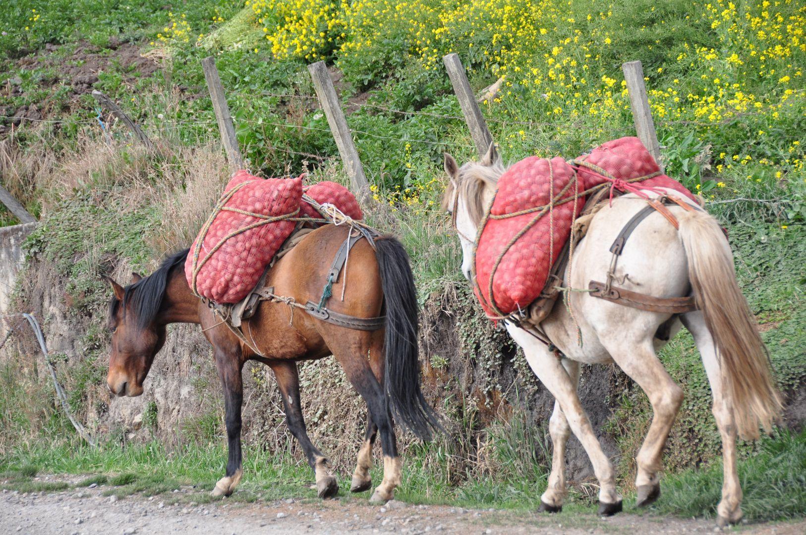 caballos que llevan papas