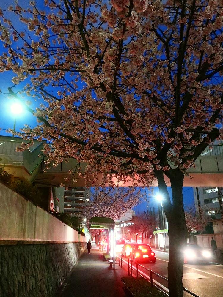2019_03_11 名古屋市東区:大寒桜の並木道06