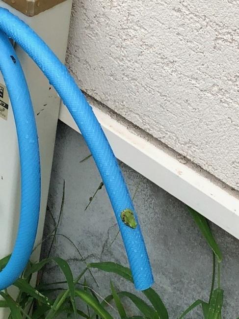 水道の蛙②