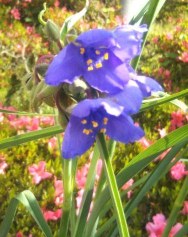 紫露草(ムラサキツユクサ) 令和元年 拡大
