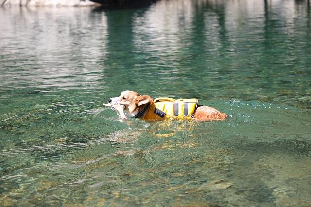 元気に泳ぐムギ