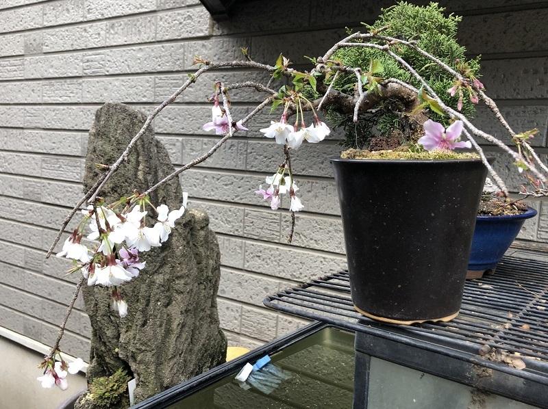 枝垂れ桜1904011