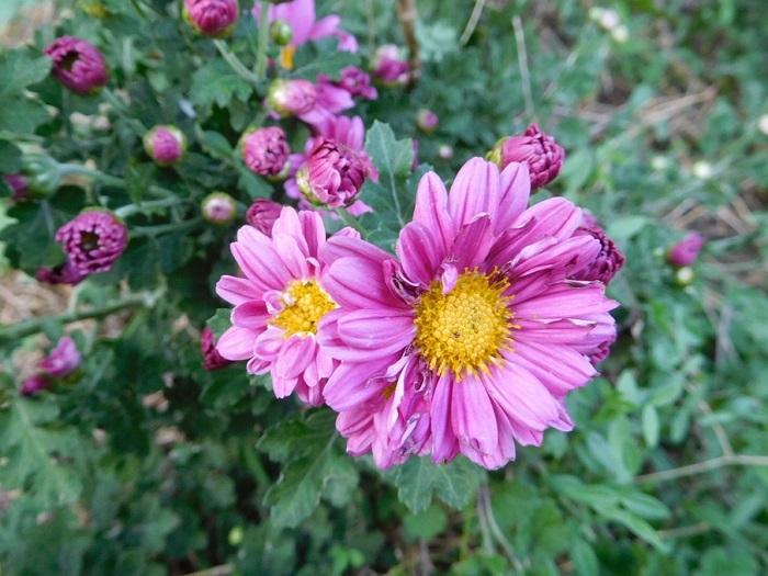 菊の花3011
