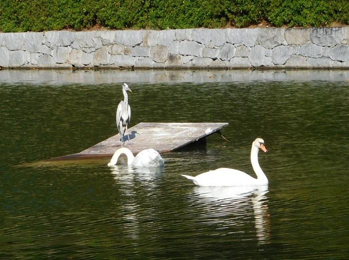 白鳥鷺3011