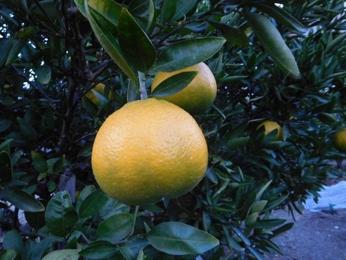 柑橘一覧3011 (1)