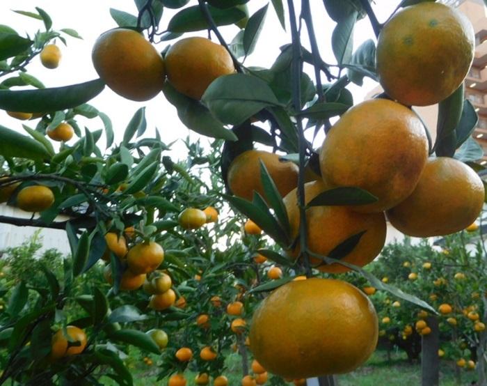 柑橘一覧3011 (2)