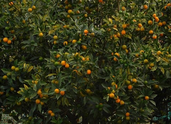 柑橘一覧3011 (3)