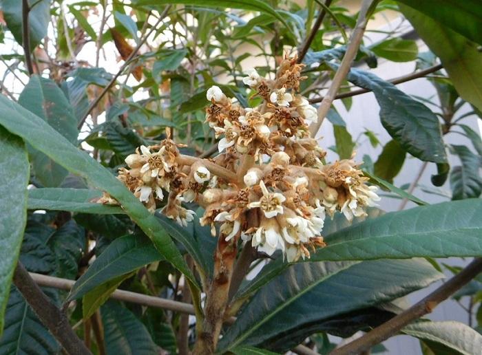 枇杷の花3012