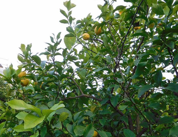 レモン出荷3101 (1)