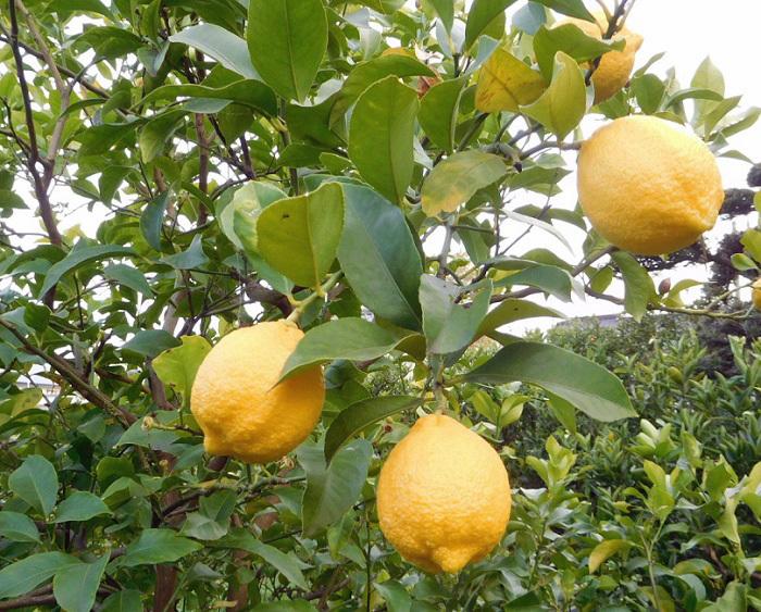レモン出荷3101 (4)