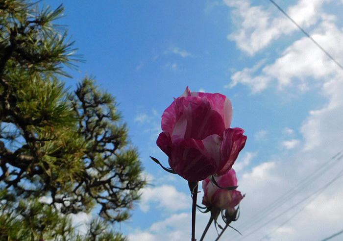 冬薔薇3101