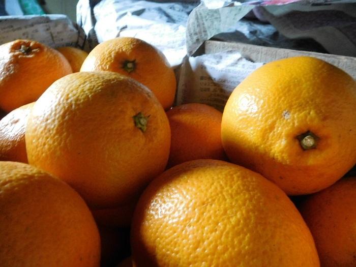 柑橘いろいろ3102 (1)