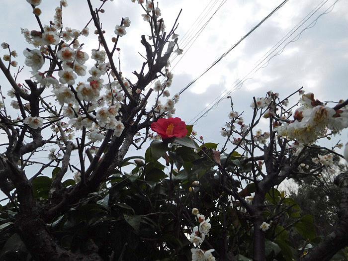 梅と椿3102