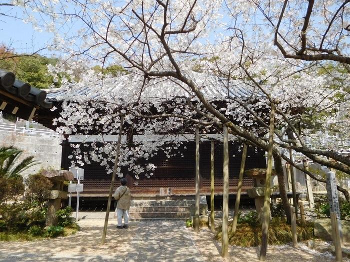 みかん水泳乳母桜3103 (4)