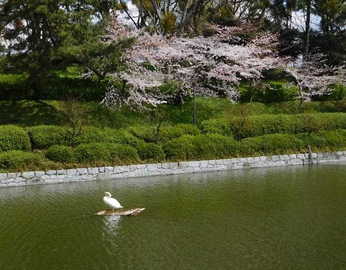 桜サクラ3103(2)