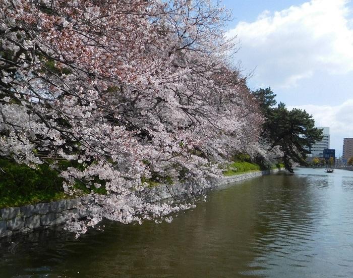 桜サクラ3103