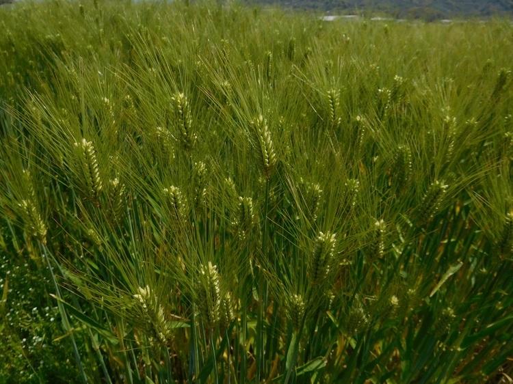 麦畑3104