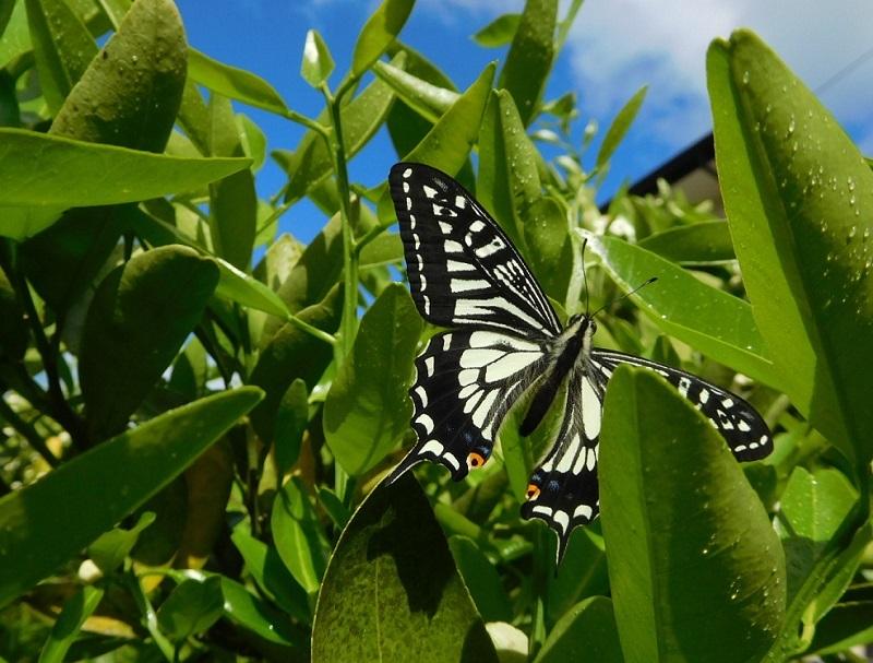 蝶の舞3104