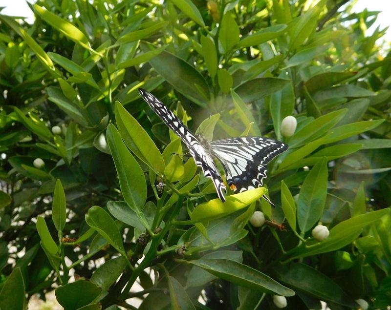 蝶の舞3104-2