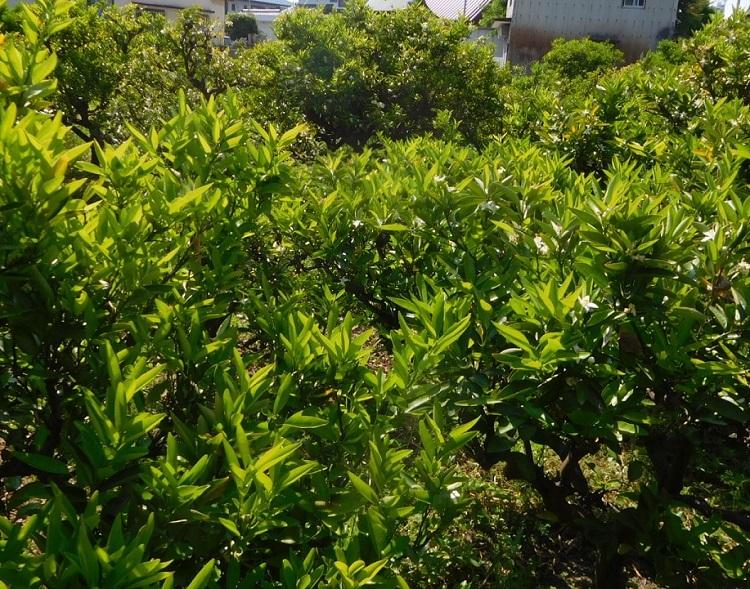 ミカン畑の花0005 (2)