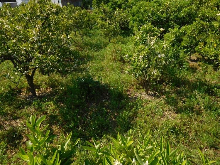 ミカン畑の花0005