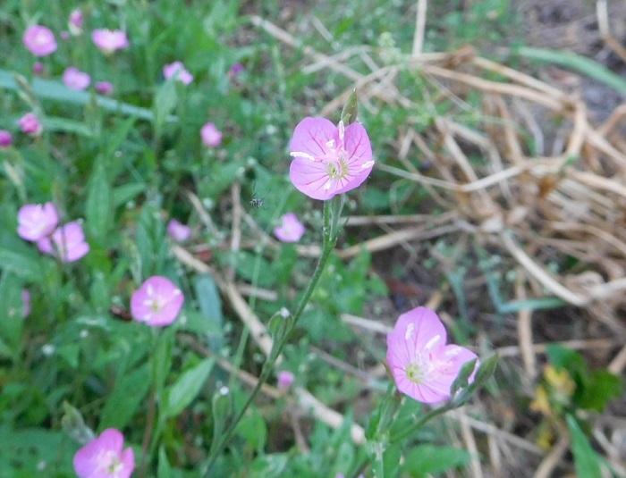 ミカン畑の草花0005 (2)
