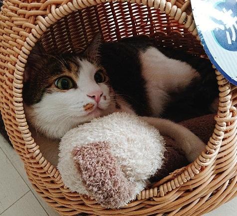 キジ白オス猫三歳、タヌキ顔気味