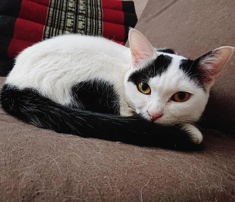 白黒メス猫二歳、キツネ顔気味