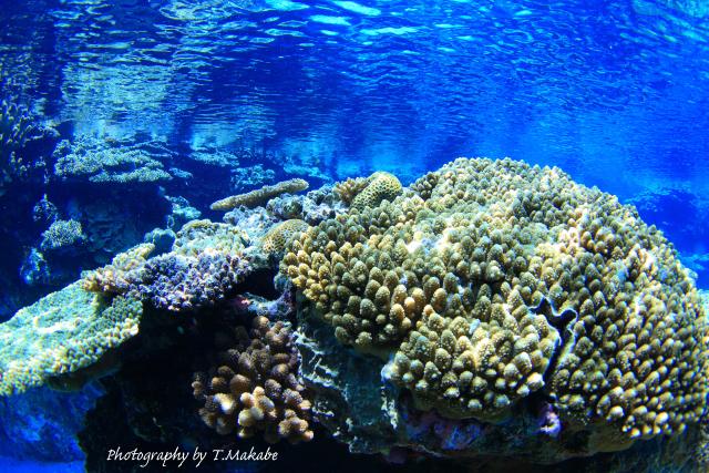 02-2★慶良間諸島奧武島のサンゴ