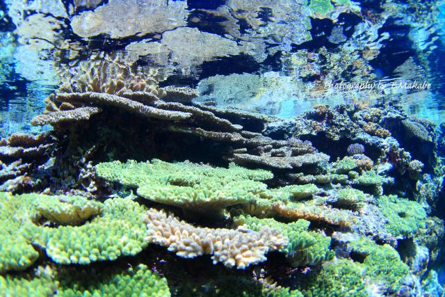 05-2★慶良間諸島奧武島のサンゴ