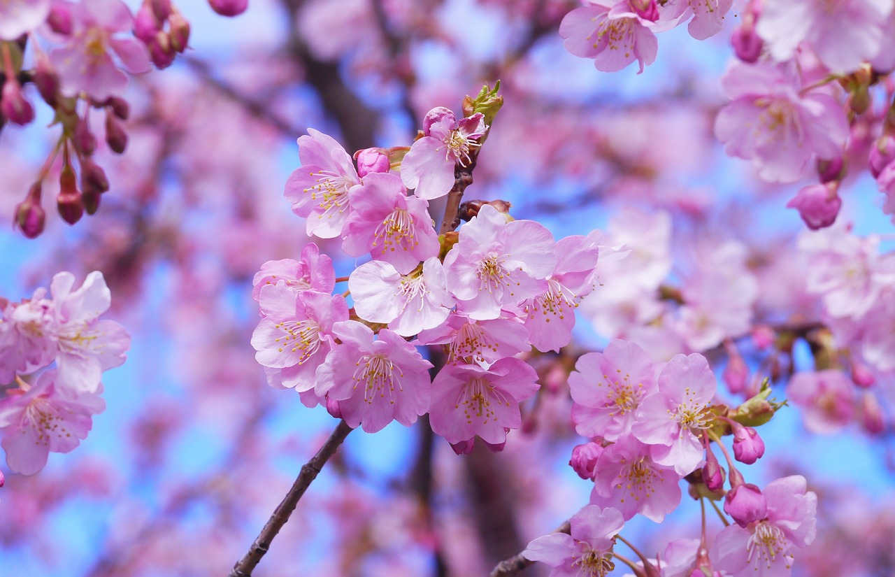 cherry-blossom-1317308_1280.jpg