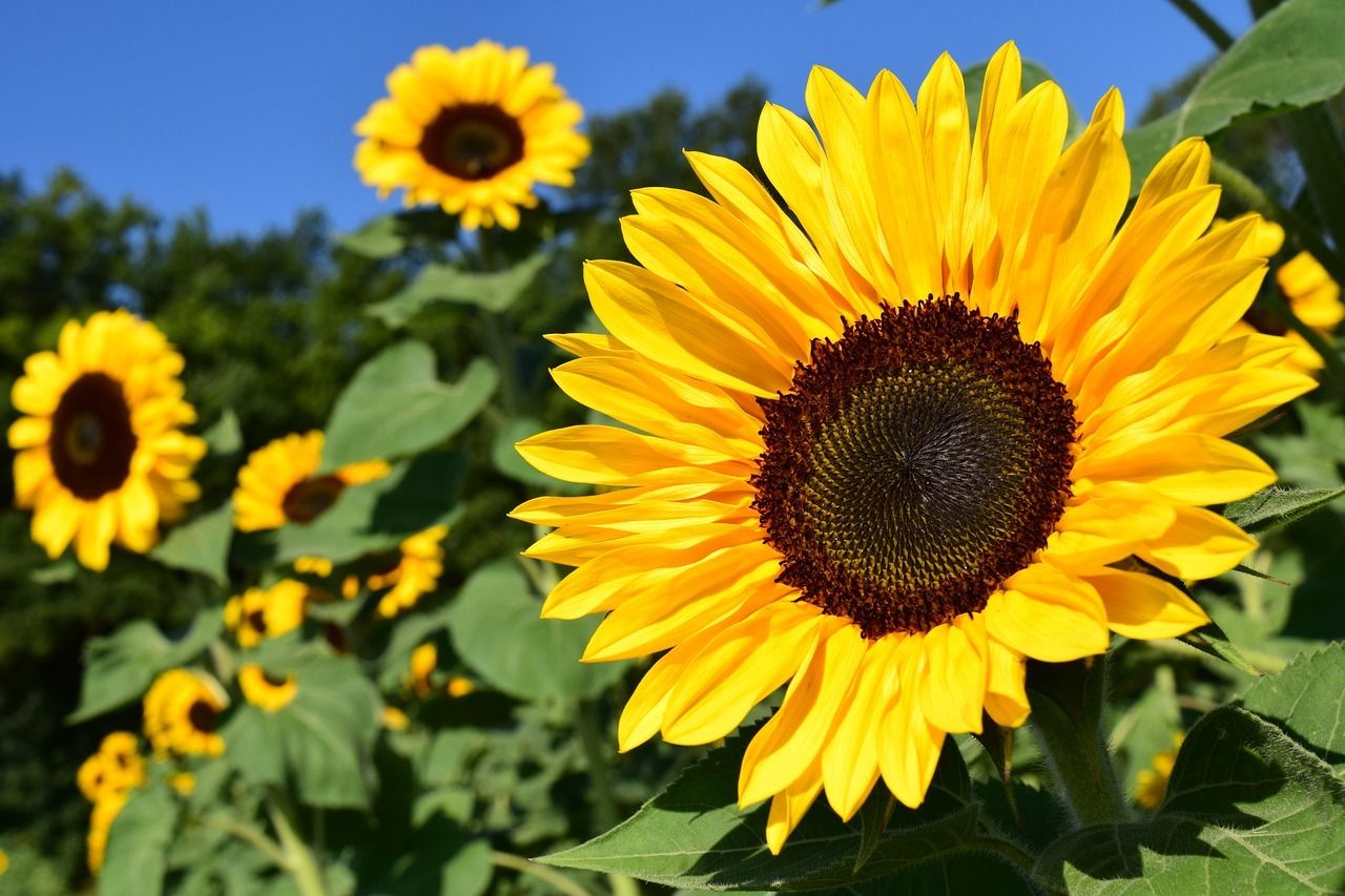 sunflower-1627193_1280.jpg