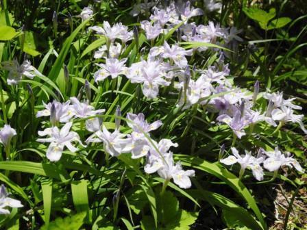 ヒメシャガの花⑧