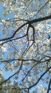 cerisier (1)