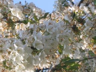 cerisier Sakura 003