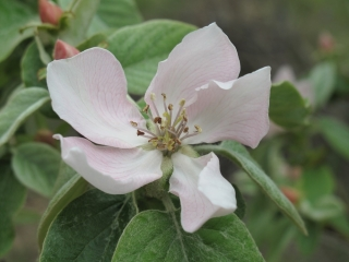 mirabelle coings IMG_2306 (1)
