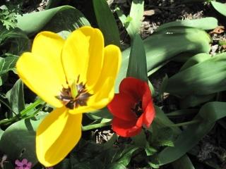 tulipes IMG_2365 (1)