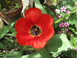 tulipes IMG_2427 (1)