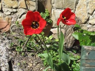 tulipes IMG_2362