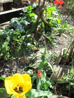 tulipes IMG_2365 (2)