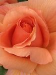 rose20193.jpg