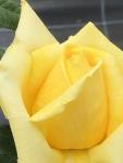 rose20194.jpg