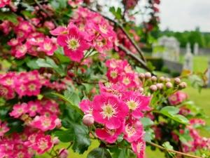 pinksanzashi05191