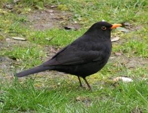 blackbirdwikipediaphoto