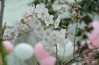 habu-sakura13.jpg