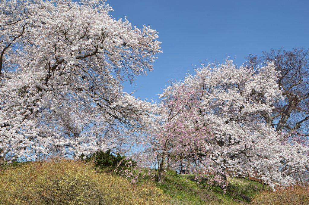 misatosakura03.jpg