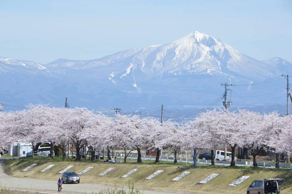 misatosakura13.jpg
