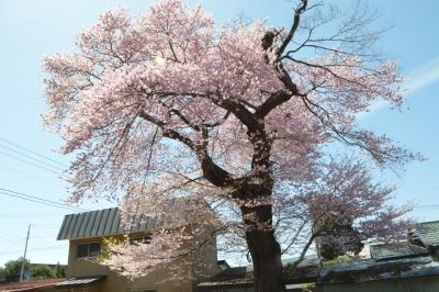 misatosakura14.jpg