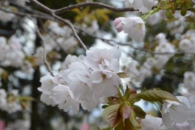 misatosakura25.jpg