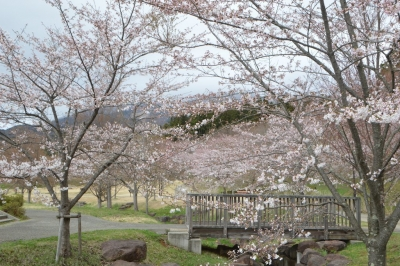 misatosakura33.jpg